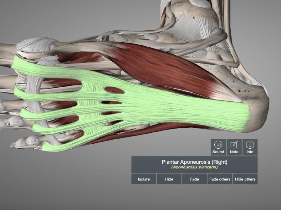 fascia Plantaire